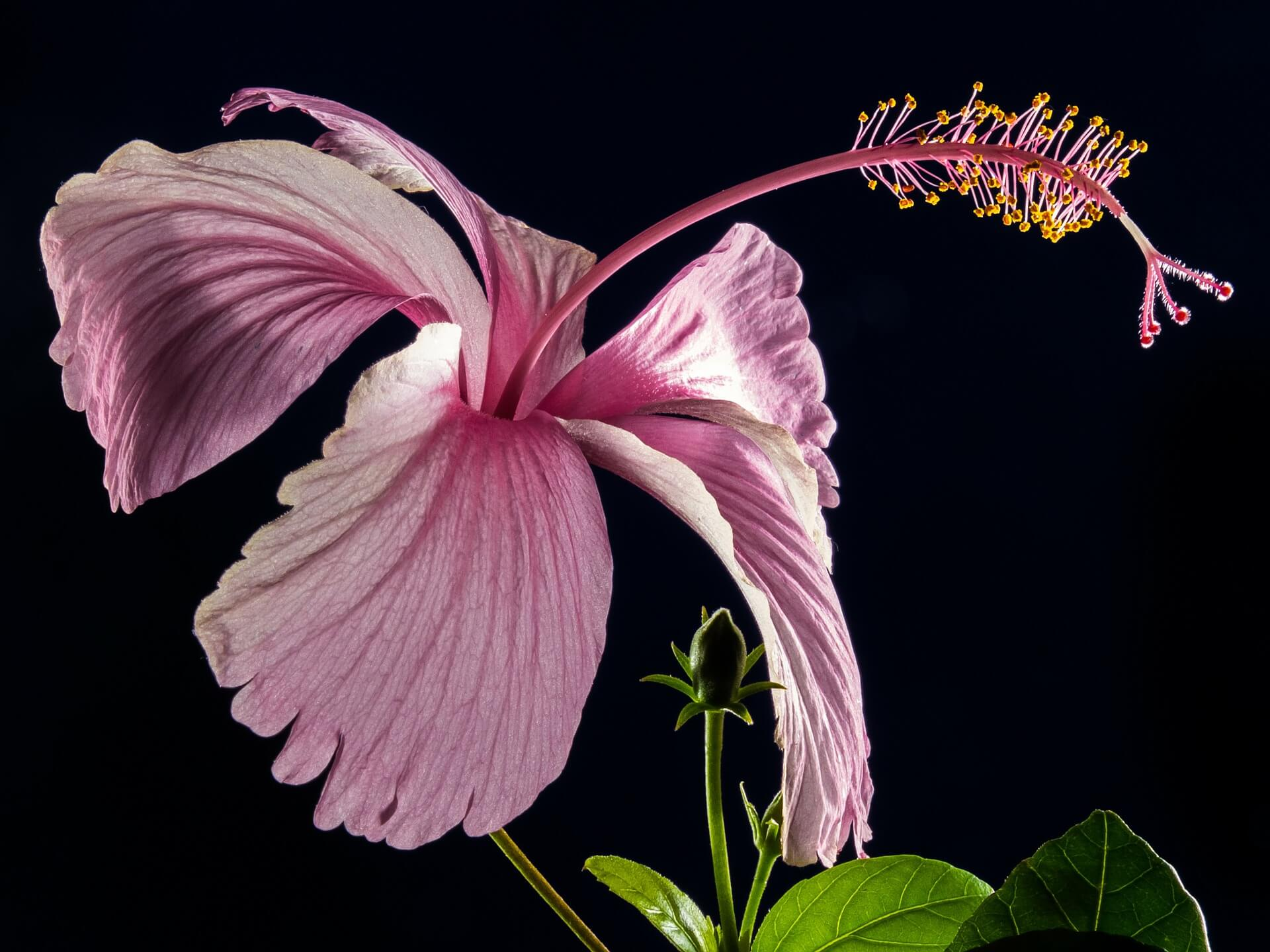Hibiscus Flower-Background
