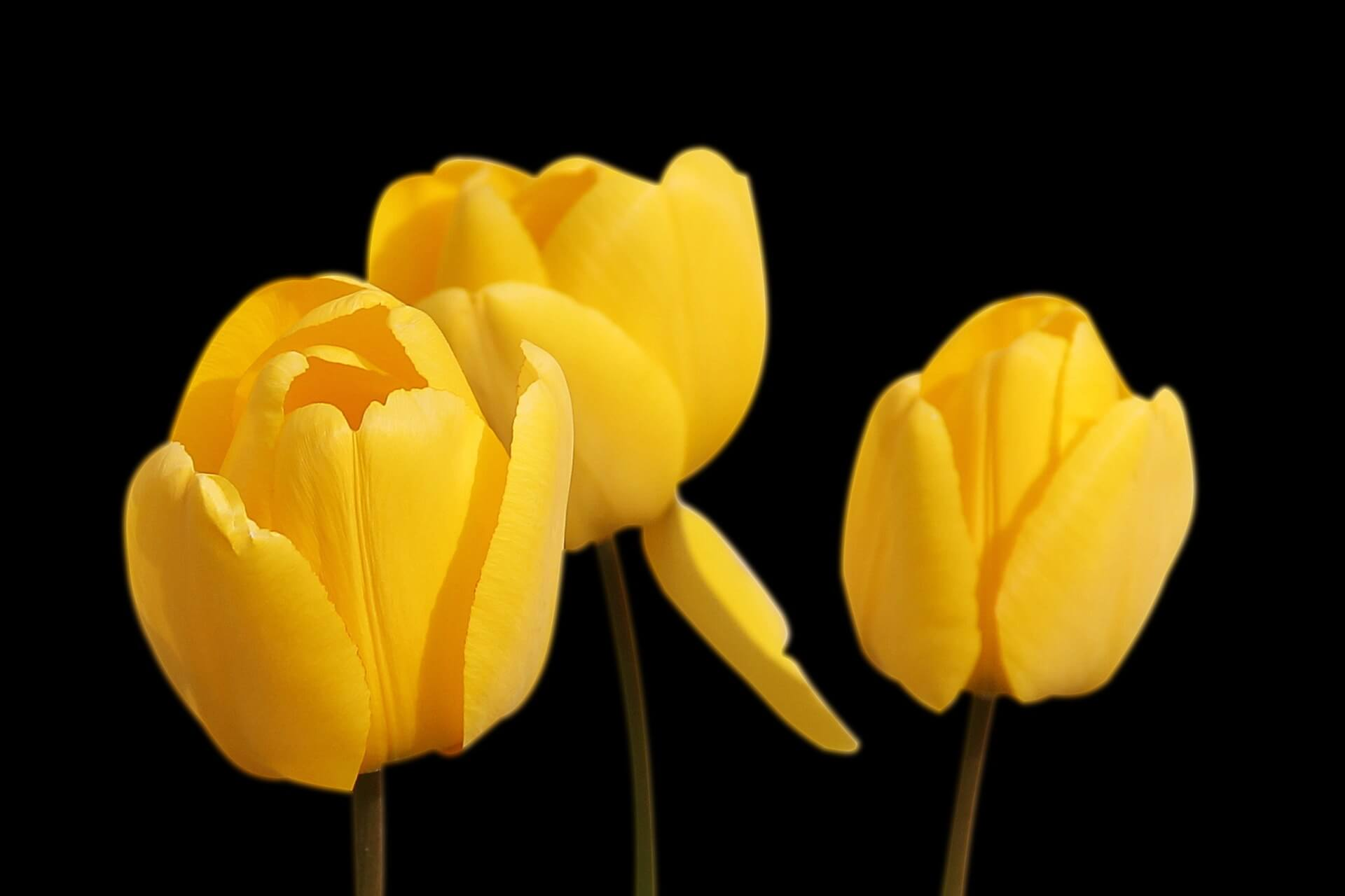 Tulips Flower-Wallpaper-Background-floral