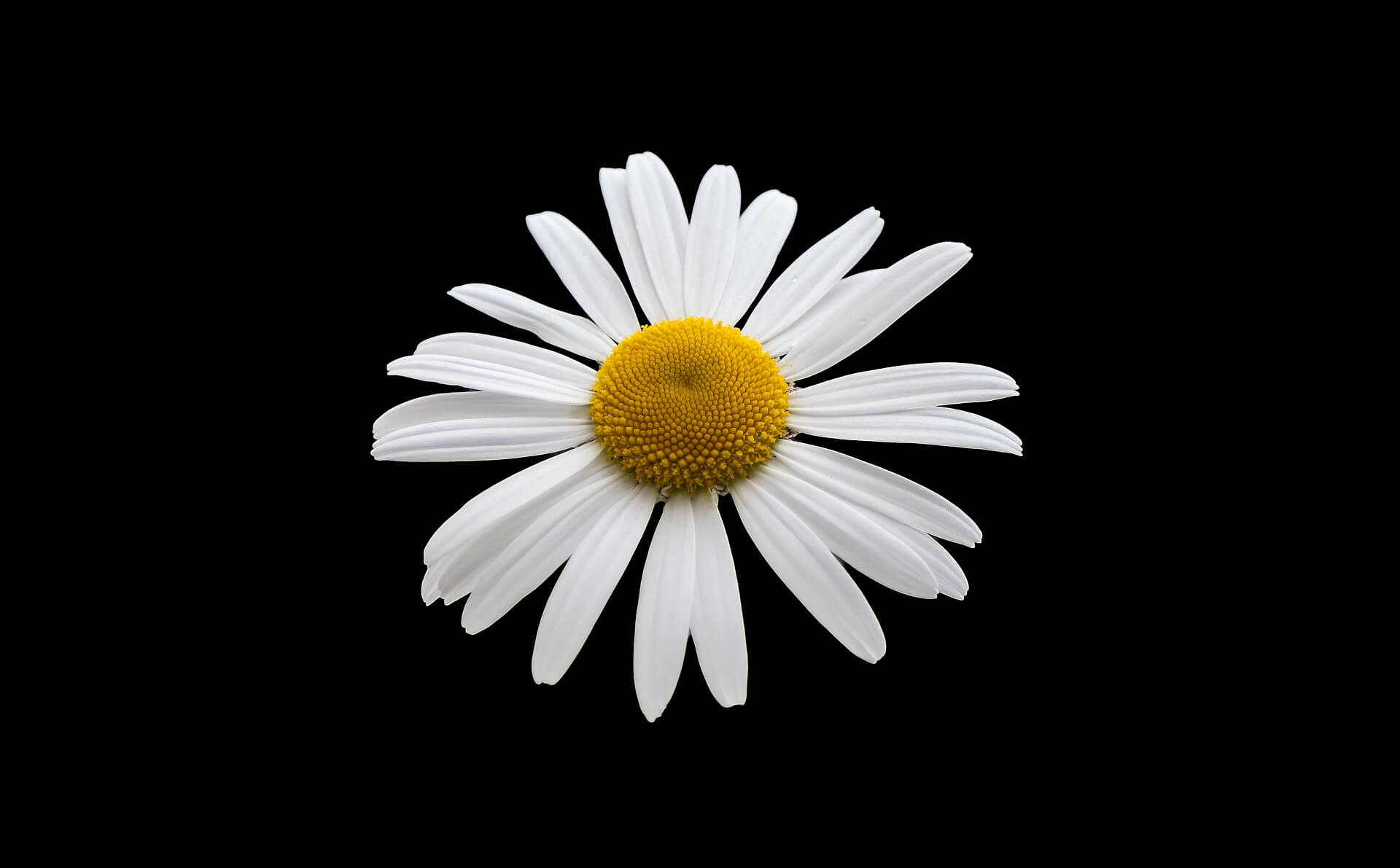 White Margriet Flower Background